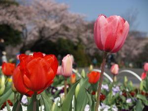 20100403_tulip_8854_w800_2
